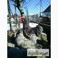 Продам інкубаційне яйце курей породи кохінхін голубий