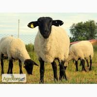 Продаю вівці, барани, ягнята породи Суффолк, Прекос