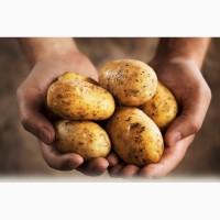 Продам картофель оптом