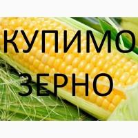Постійно закуповуємо зерно кукурудзи по Рівненській області України