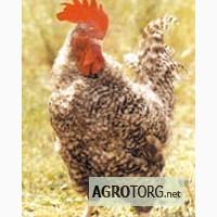 Продам цыплят Редбро, Мастер Гриз, Гриз Бар, Испанка, Мулард