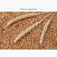 Купим пшеницу фуражную в Черниговской области. Форма оплаты любая