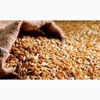 Закупаем пшеницу 1 и 2 класс