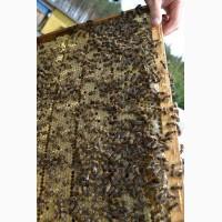 Продаются пчелы карпатка