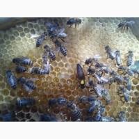 Пчеломатка Карпатка 2019 года Пчелинная Матка (Бджоломатки)