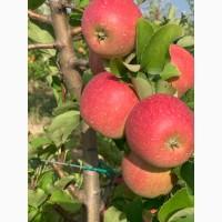 Продам яблоки, сорта Чемпион, Ханни Крисп, урожая 2019 года, с сада