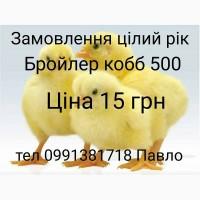 Продаєм добові бройлерні курчата кобб 500. Циплята