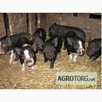 Поросята вислобрюхой,вьетнамской свиньи