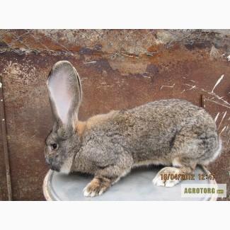 Продаємо кролики породи Фландер