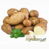 Продается оптом семенной картофель сортов - Лабелла, Таисия, Альта