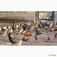Яйца фазана охотничьего, утки дикой кряквы, яйца утки голубой фаворит