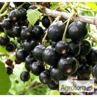 Саженцы черной смородины ювилейная копаня