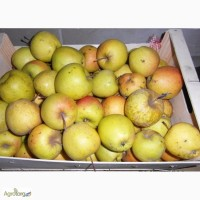 Продам яблука Голден Делішес