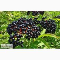 Бузина черная ягода оптом