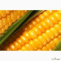 Днепровский 181 СВ ранний гибрид кукурузы