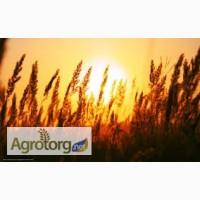 Куплю пшеницу у производителя