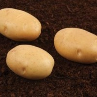 Продам семенной картофель первой репродукции 7, 10 грн
