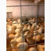 Продам суточных и подрощеных цыплят и корма и врозницу