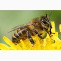 Продам бджолопакети. Порода українська степова. Вінницька обл