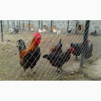 Маран черно-медный инкубационные яйца