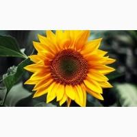 Продам семена подсолнечника Аркансель, под гранстар, 105-108 дней