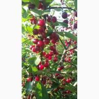 Продам саженцы вишни(однолетка)сорт Дебрецени ботерма