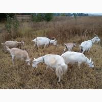 Продам недорого дойные, котные козы и племенного козла молочной породы