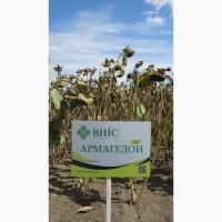 Семена подсолнечника Армагедон - скидки от производителя до 20%