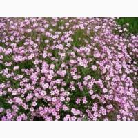 Насіння квітів Гіпсофіли рожевої