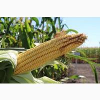 Пивиха посівний матеріал кукурудзи