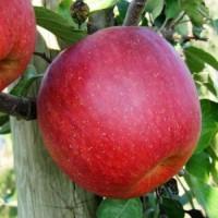 Продаются яблоки разных сортов отличного качества большими объемами. импорт. Киев. регионы