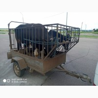 Куплю быков коров тёлок (падёж круглосуточно)