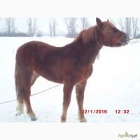 Продам молодую лошадь породы русский тяжеловоз