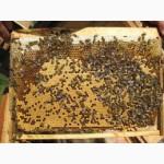 Продаж бджолопакетів, маток карпатка