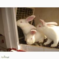 Кролики породы Хилла