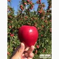 Продаж Яблук Закарпаття врожай 2017
