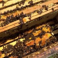 Пчелопакет Украинской степной - Бдолопакети Apis mellifra acervorum Scor