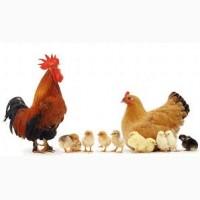 Цыплята суточные мясояичных пород, домашние