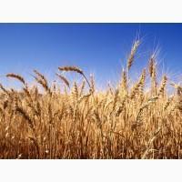 Агрофірма постійно закуповує у сільгоспвиробників пшеницю не Стандартну