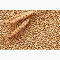 Закупаем пшеницу фуражную
