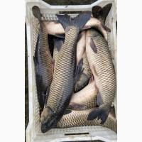 Оптовая продажа живой рыбы