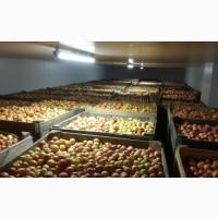Покупаем яблоки - крупный опт, Днепропетровская обл