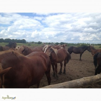 Продам лошадей на мясо