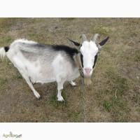 Продам дойную козу СРОЧНО
