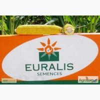 Продам гібрид кукурузи ЄВРАЛІЗ СІГМА