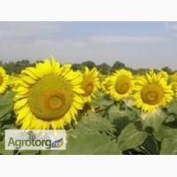 Семена подсолнечника Римми (под евро-лайтинг) Ново Сад