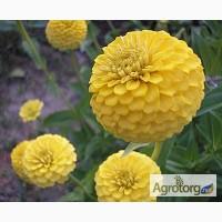 Продам семена Цинния изящная Лилипутэк, желтая