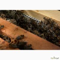 Привезу пчелопакеты карпатской породы. Племенные качественные матки