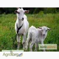 Продам молодых дойных коз дойных коз с козлятами