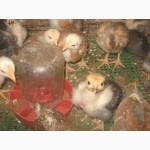 Акция на цыплят мясо-яичных пород